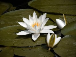 Water lily by creanima