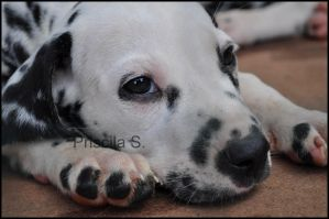 Dalmatian Puppy 2 by Decode-That