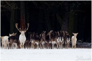 White deers by Salvas