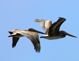 Pelicans In Flight by softspokenmc