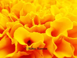 Macro of Chrysanthemum Petals by acetyl-choline