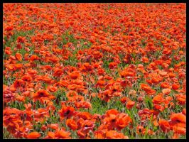 Poppies by cycoze