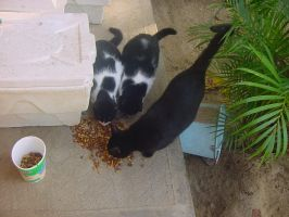 ferral cats eating by Innuo