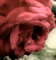 ghost of a rose by Corsico