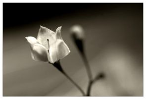 white flower 1 by sergiemag