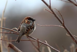 House Sparrow by OpalWildPhotography