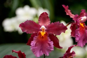 Maroon Orchid print by tash11