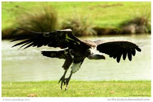 Vulture Ahoy by In-the-picture