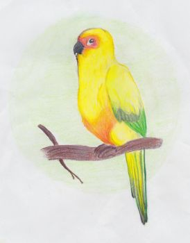 Sun Conure by chestnuthare