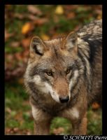 European wolf portrait by Kiba67