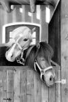 Miniature horse pencil drawing by theGaffney
