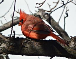 Male Cardinal. by Sparkle-Photography