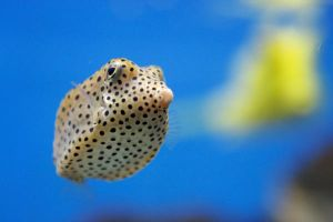 Yellow Spotted Boxfish by tummy31