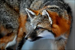 Gray Fox Taxidermy by nikkiburr
