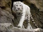 White tiger: bib is needed by woxys