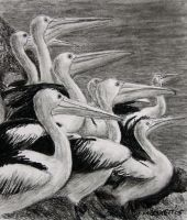 Pelicans by mbeckett