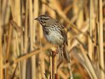 Song sparrow pic 3 by Nipntuck3