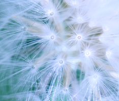 Pappus by inject-candy