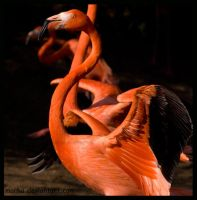 flamingo: dancer by morho