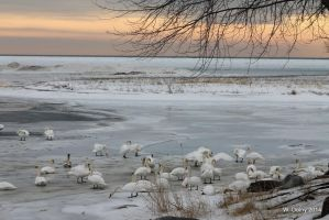 Winter Swans by lenslady