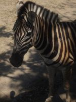 zebra by CrystaltheEchidna