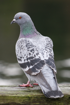 Dock Dove by WhaleWolf