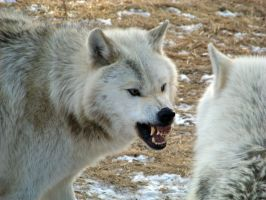 Angered Grey Wolf - Stock by ForestWanderers