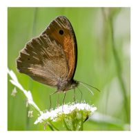Butterfly by Tom-Mosack
