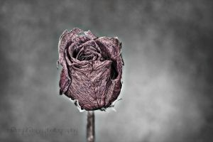 Dried rose 2 by MidnightDaisyStudio