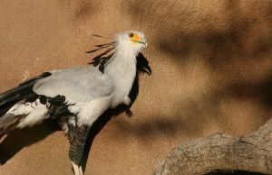 Secretary Bird II by oOBrieOo