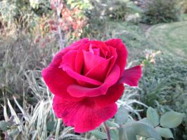 My Grandmothers rose by eurybiades