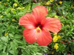 Red Hibiscus by samybenenny