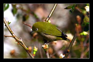 White-eye in the Park 8 by Keith-Killer
