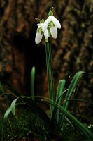 Looking Up to Snowdrops by EarthHart