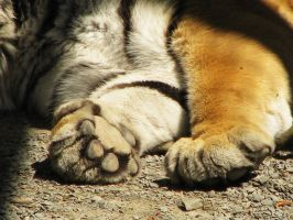 Paw Stock 11: Amur Tiger by HOTNStock