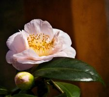 Pale Pink Camellia by muffet1