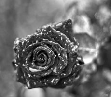 Black rose by Tirz