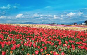 Tulip Fields 2004 by FrancesColt