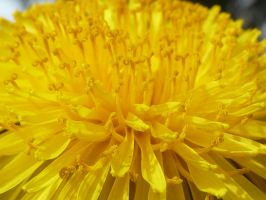 First Dandelion of Spring by Cellopuddin