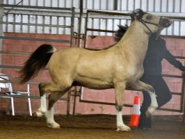 STOCK - 2014 Welsh QLD Show-55 by fillyrox