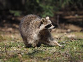 angry racoon by wam17