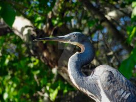 Tricolored Heron Profile by Mindwerkz
