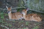 Twin Fawns 1 by PhotographyAndGoats