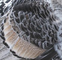 Texture - Turkey Feathers by steppelandstock