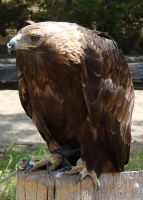 Golden Eagle by asaph70
