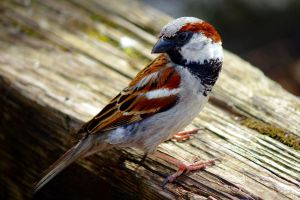 Male sparrow by Steve-FraserUK