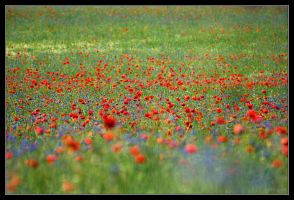 Poppies Wallpaper 01 by adamsik