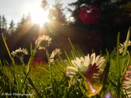 Evening Daisies by sweir17