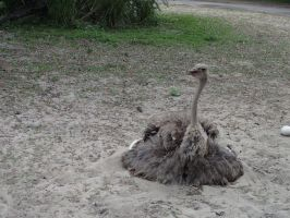 Ostrich by Chrissice