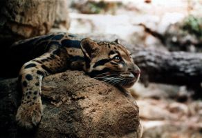Clouded Leopard by robbobert